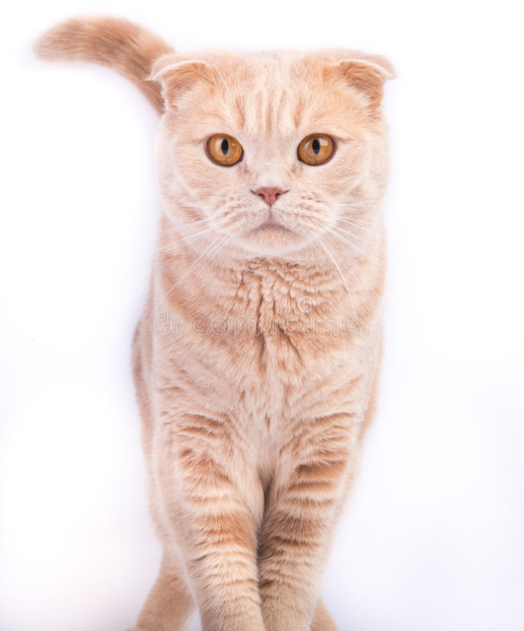 Scottish fold cat walking and looking straight. Scottish fold male cat walking and looking straight isolated on white background stock images