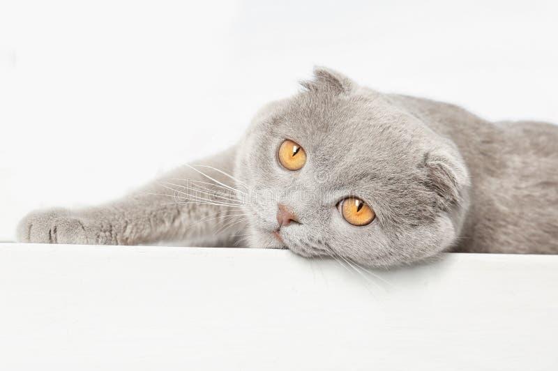Scottish fold cat on background. Scottish fold cat on white background stock images