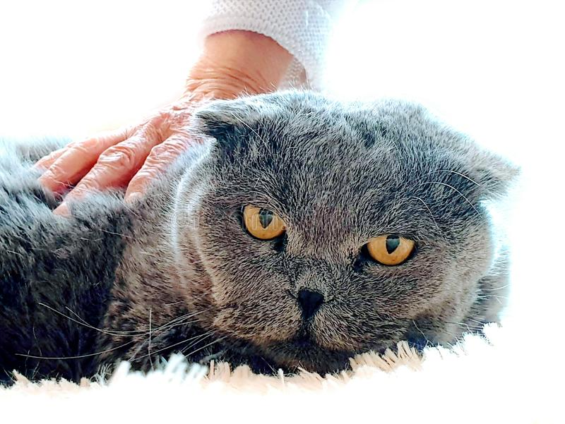 Scottish Fold Cat On white blanket Old woman hand caressing cat fur funny kitten care home animal. Care Animal Funny Scottish Fold Cat On white blanket Old woman royalty free stock images