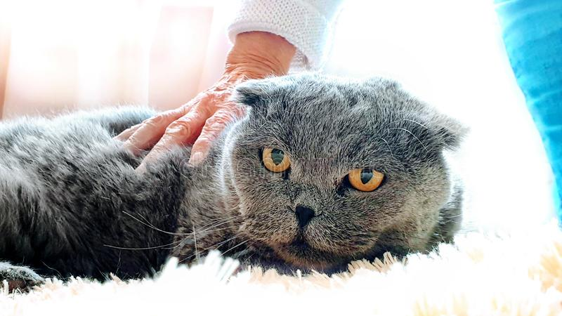Scottish Fold Cat On white blanket Old woman hand caressing cat fur funny kitten care home animal. Care Animal Funny Scottish Fold Cat On white blanket Old woman royalty free stock photos