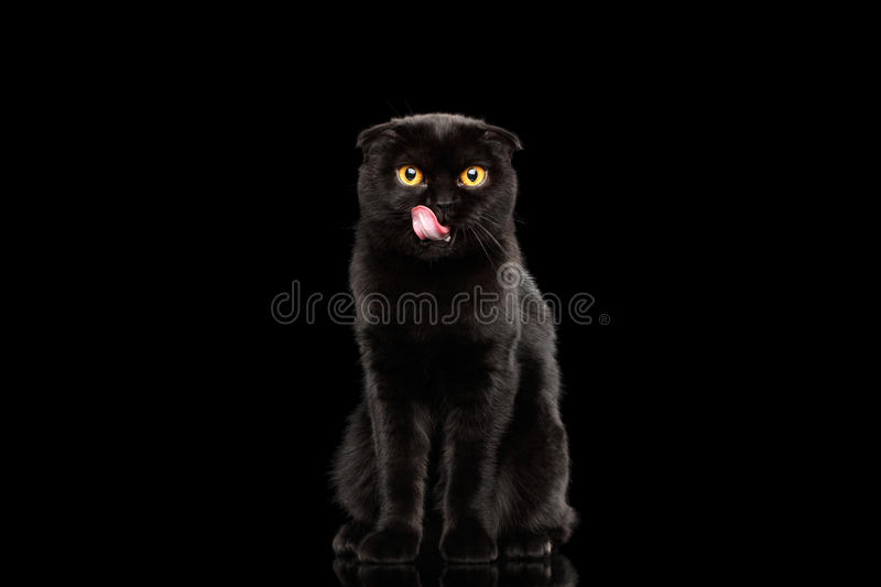 Scottish Fold Cat with Yellow eyes Sitting and Licked, Black Isolated. Black Scottish Fold Cat with Yellow eyes Sitting and Licked Isolated on Black Background stock photography
