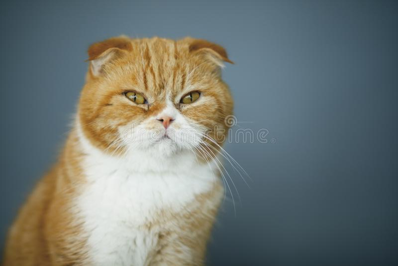 Scottish Fold Cats stock images