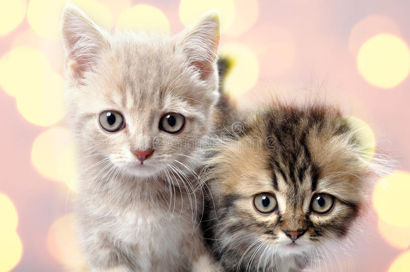Scottish fold ear breed kittens royalty free stock photos