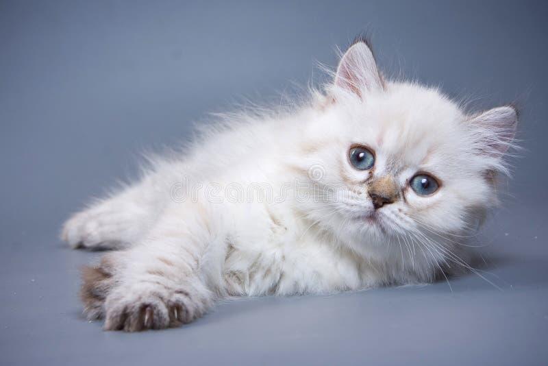 Scottish Fold kitten. On blue background royalty free stock images