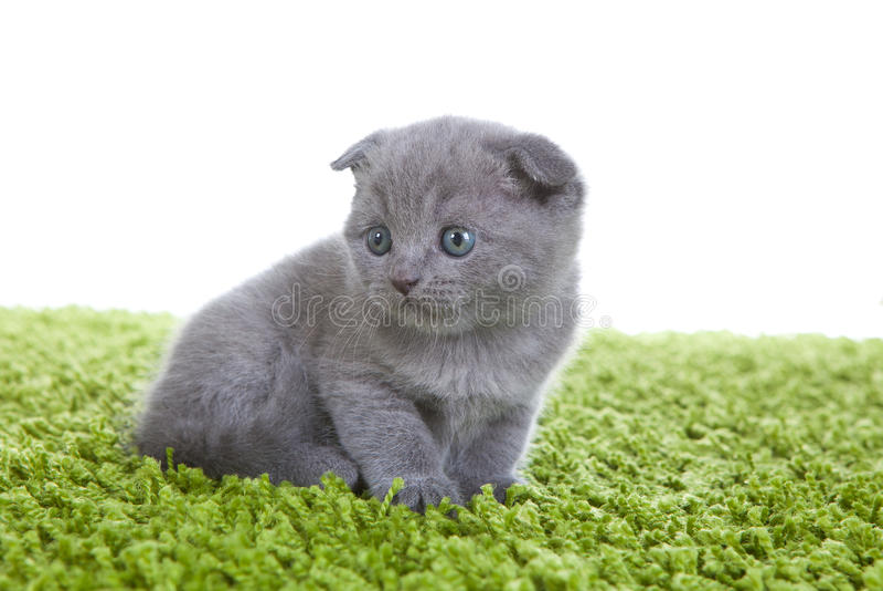 Scottish Fold Kitten Royalty Free Stock Image