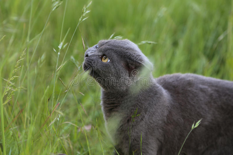 Scottish fold kitten bites grass stock photography
