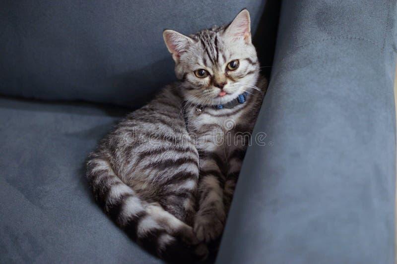 Scottish Fold Kitten on Couch stock photography
