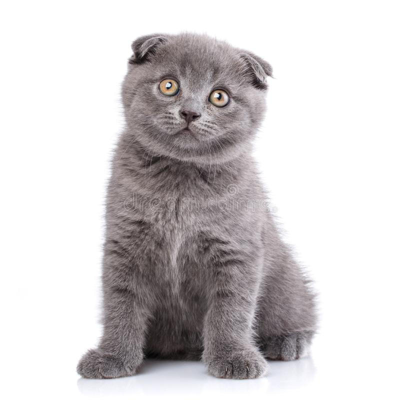 Scottish fold kitten isolated on a white background.The cat looks forward. Scottish fold kitten. The cat looks forward. Playful kitten explores new territory stock images