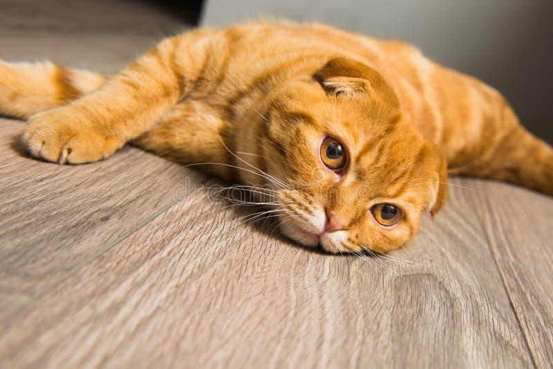 Scottish Fold red cat on the floor. Scottish Fold red cat on the wooden floor stock image