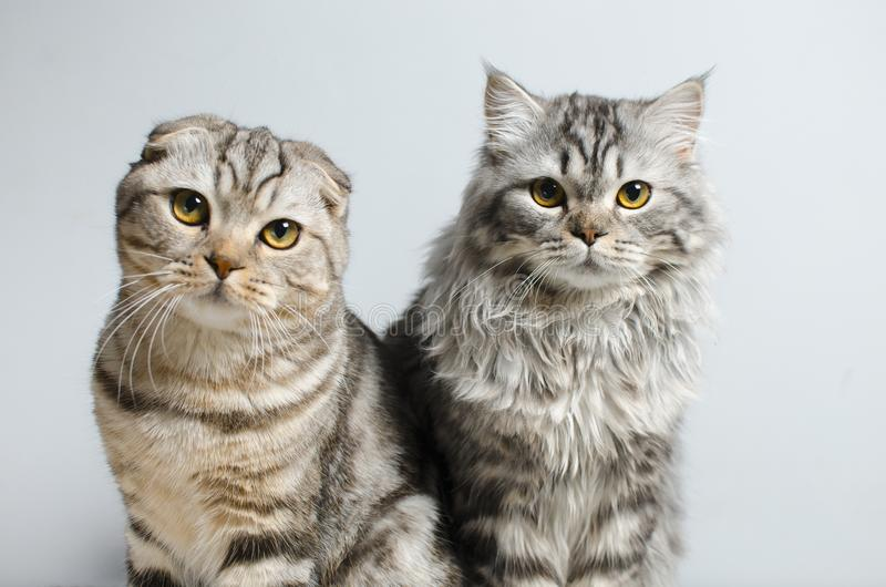 Scottish Fold and Scottish pryamouhy, blue marble cats. On a white insulator look into the camera. royalty free stock image