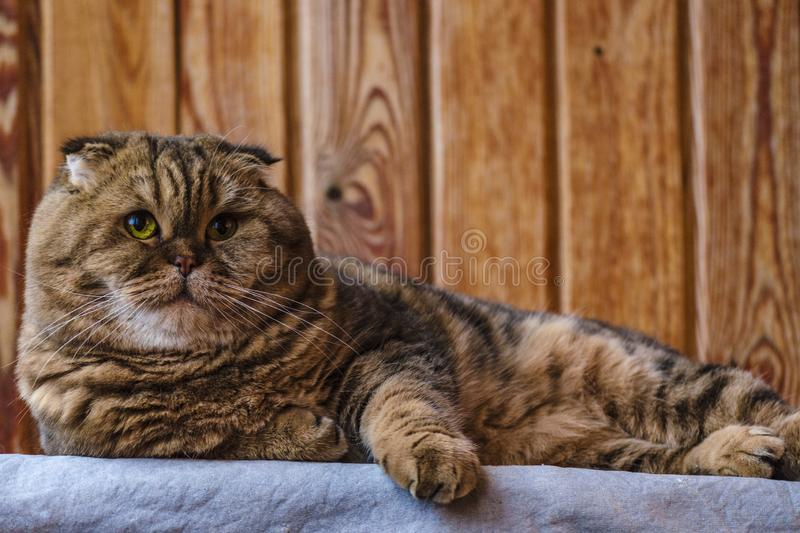Scottish Fold sits on a wooden texture. Beautiful multicolor stripes cat with yellow-green eyes. Lop-eared kitten looking at. Camera. Animal portrait stock photography