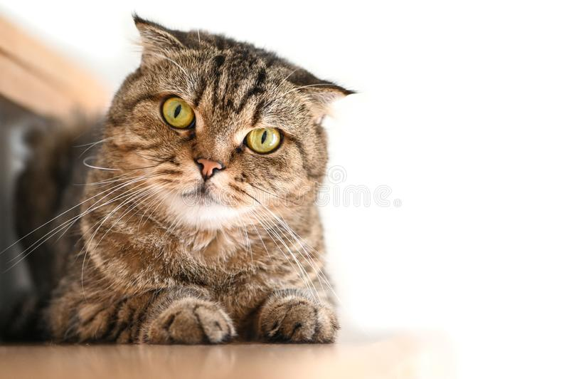 Scottish Fold Tabby cat lying on a stair. And looking at camera royalty free stock images
