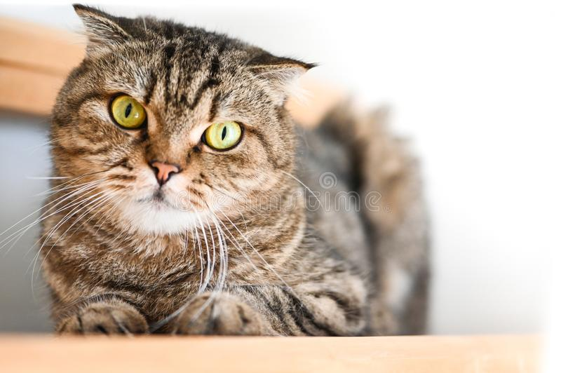Scottish Fold Tabby cat lying on a stair. And looking at camera stock images