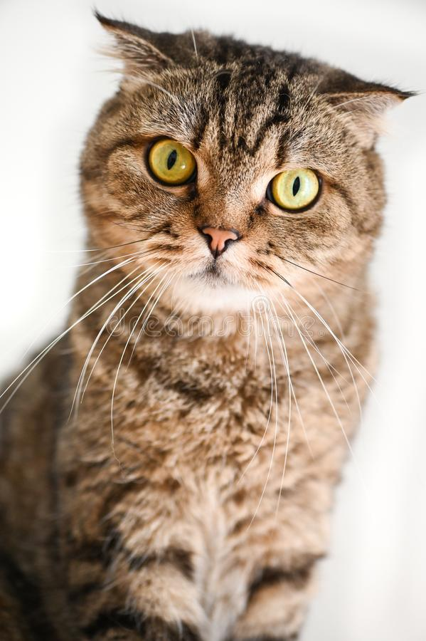 Scottish Fold Tabby cat sitting. And looking at camera royalty free stock photography