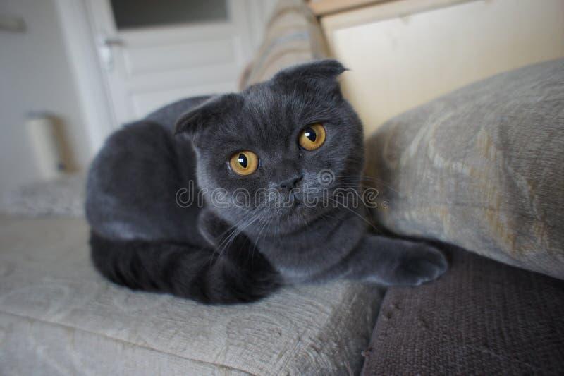 Scottish grey cat stock images