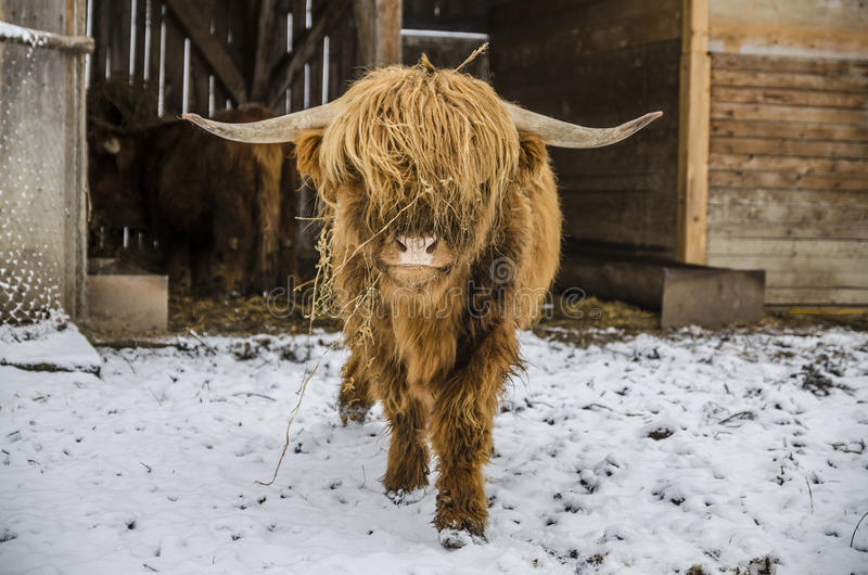 Scottish hairy coo cow. Highland cattle or coo cow is a Scottish cattle breed. They have long horns and long wavy coats that are colored usually red or yellow royalty free stock image
