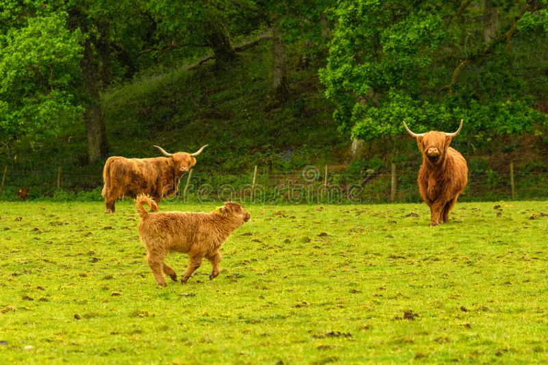 Scottish hairy cow at the farm.  stock photography