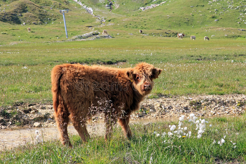 Download A Scottish highland calf stock image. Image of agriculture - 33236431