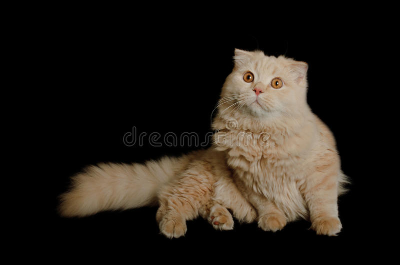 Scottish Highland Cat Stock Images