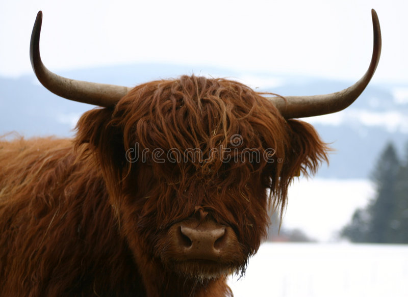 Download Scottish Highland cattle stock image. Image of bovine, cheese - 109169