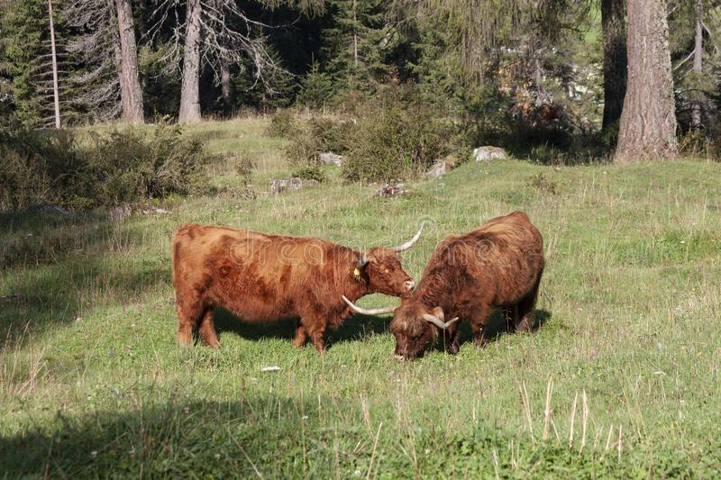 Scottish Highland Cattle graze on meadows. At obereggen, to the slopes of Latemar stock images