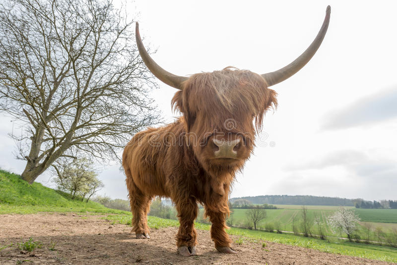 Scottish highland cattle. On a pasture royalty free stock photos