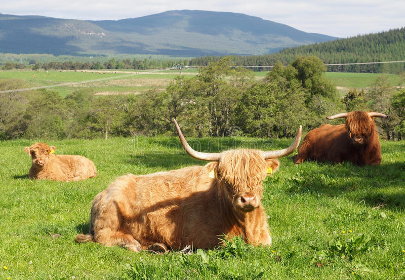 Scottish Highland Cattle. Two Highlands cows with a young calf in a herd. Horned cattle with long golden red brown hair or fur resting in long grass on the royalty free stock images