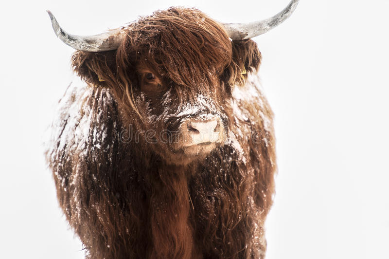 Scottish Highland Cow In Snow Royalty Free Stock Image ... - photo#44