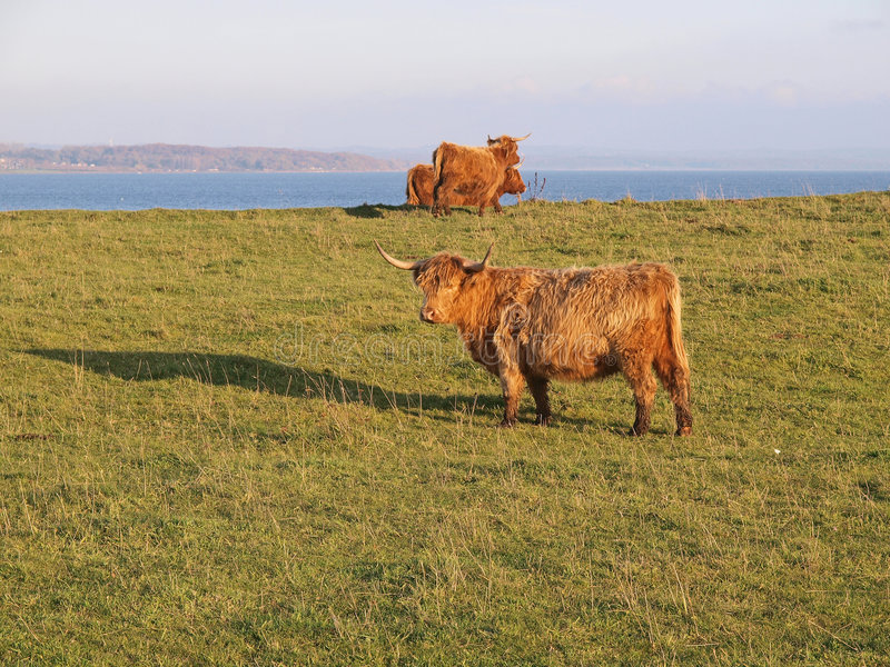 Scottish Highland Cows. In lush green field stock images