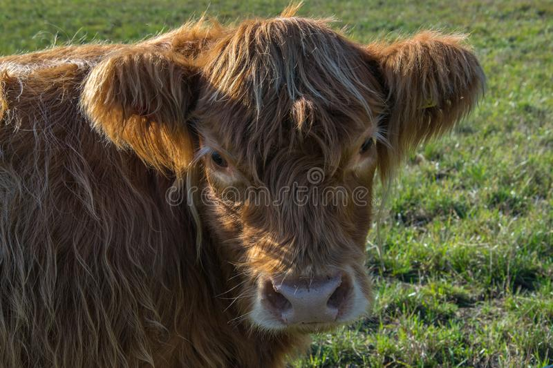 Scottish highland cows on the pasture, looking at the camera. Close up royalty free stock images