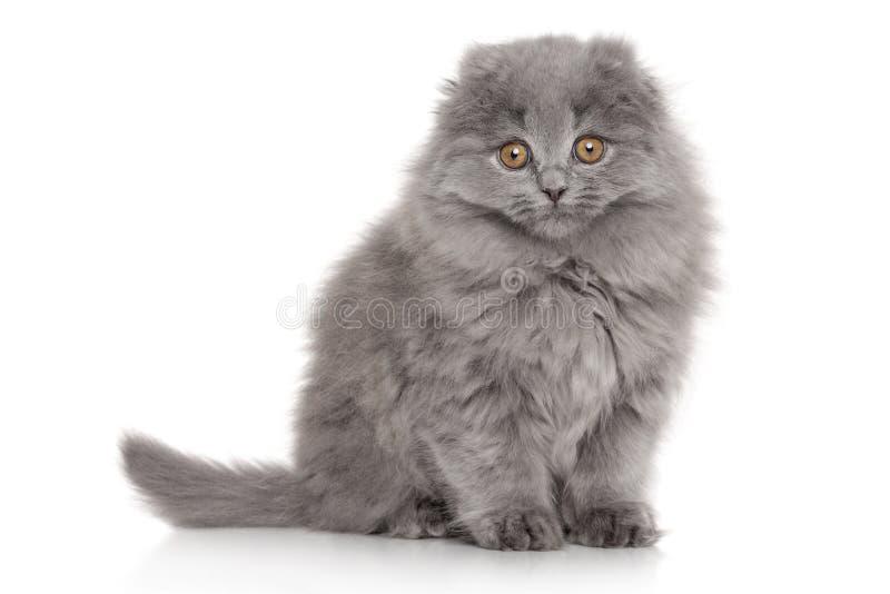 Scottish Highland fold kitten. Portrait on white background royalty free stock image
