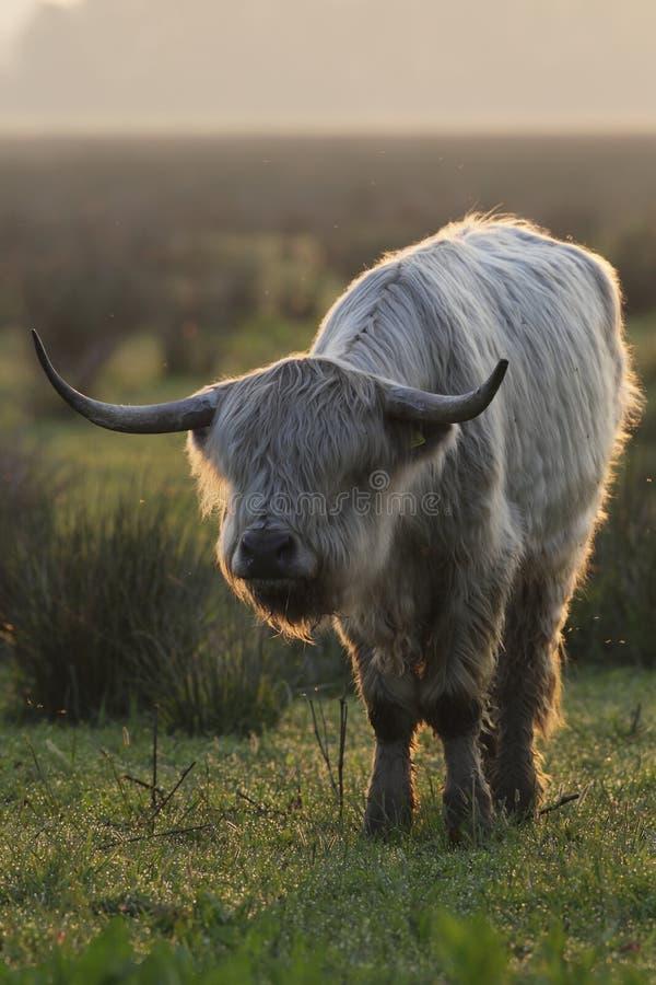 Free Scottish Highlander Royalty Free Stock Images - 28815749