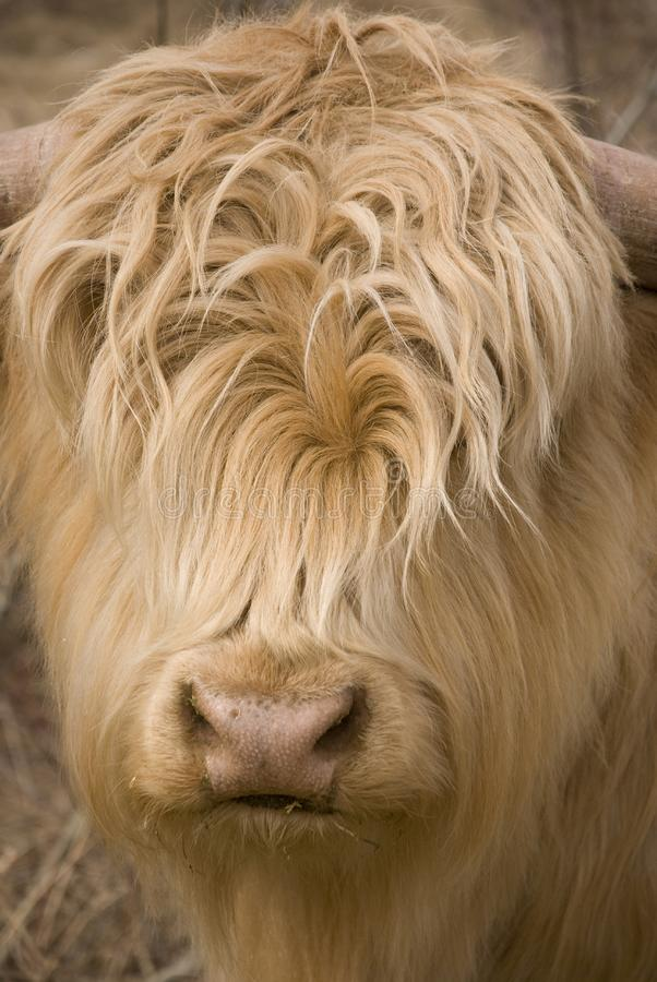 Download Scottish highlander stock image. Image of head, young - 8947893