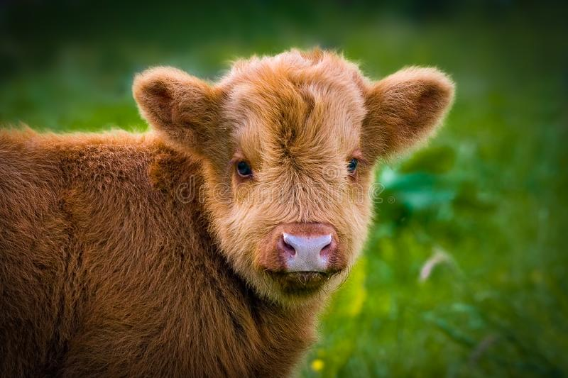 Scottish highlander calf royalty free stock photography