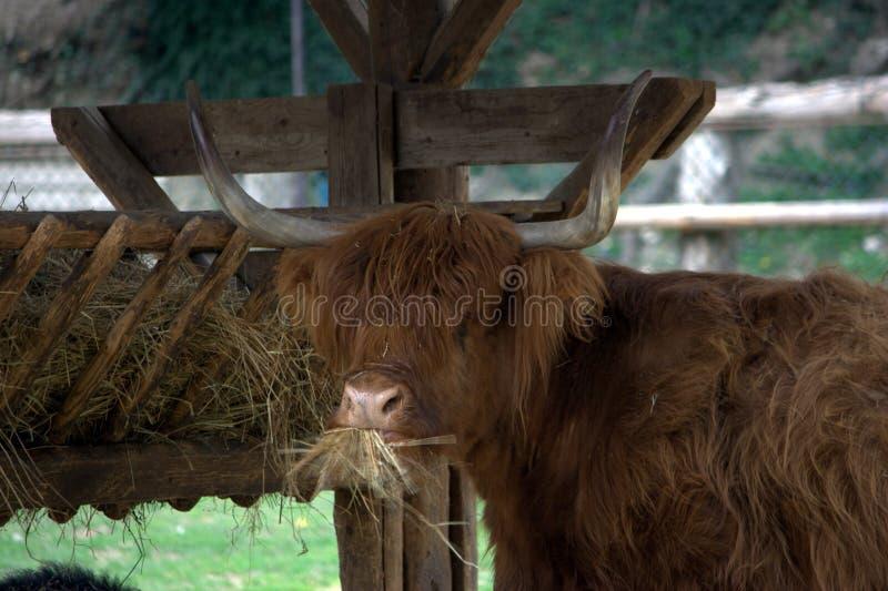 scottish-highlander-cow-eating-trough-14