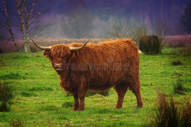 Scottish Highlander royalty free stock image
