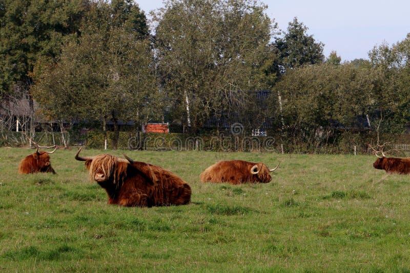 Scottish highlander in the netherlands royalty free stock photos