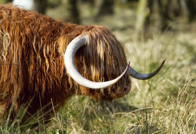 Scottish highlander ox stock photo