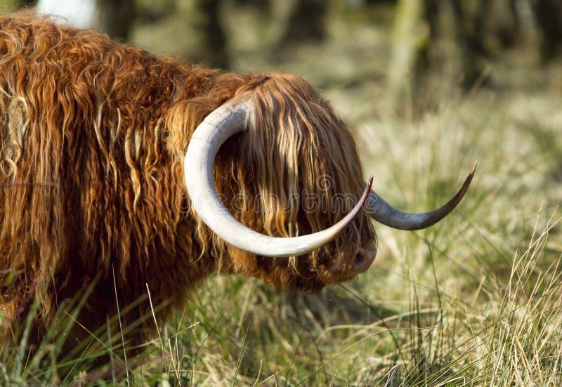 Scottish highlander ox stock photo