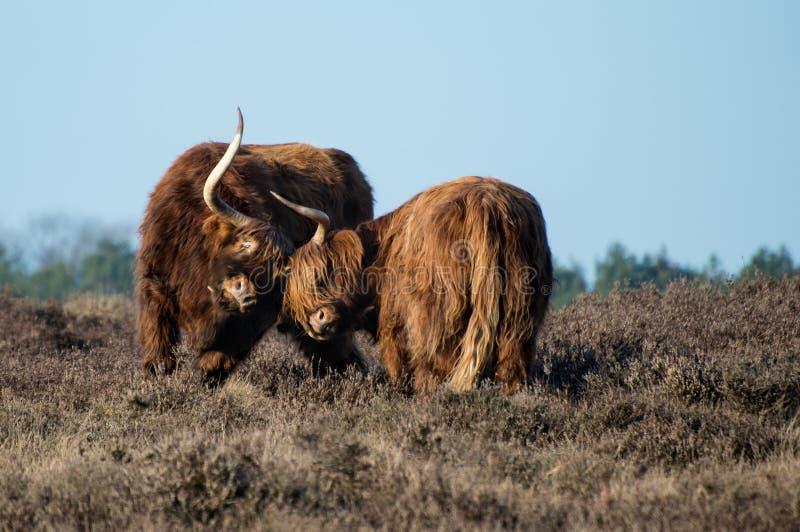Scottish highlanders in a battle stock photo
