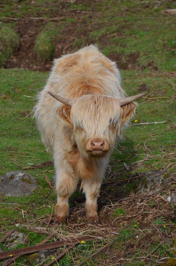 Scottish higland cow stock image