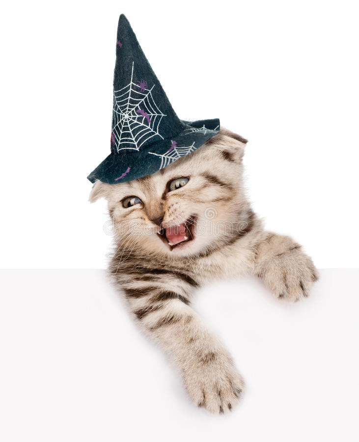 Scottish kitten with hat for halloween looking out the poster. on white background. Scottish kitten with hat for halloween looking out because of the poster. on stock photos