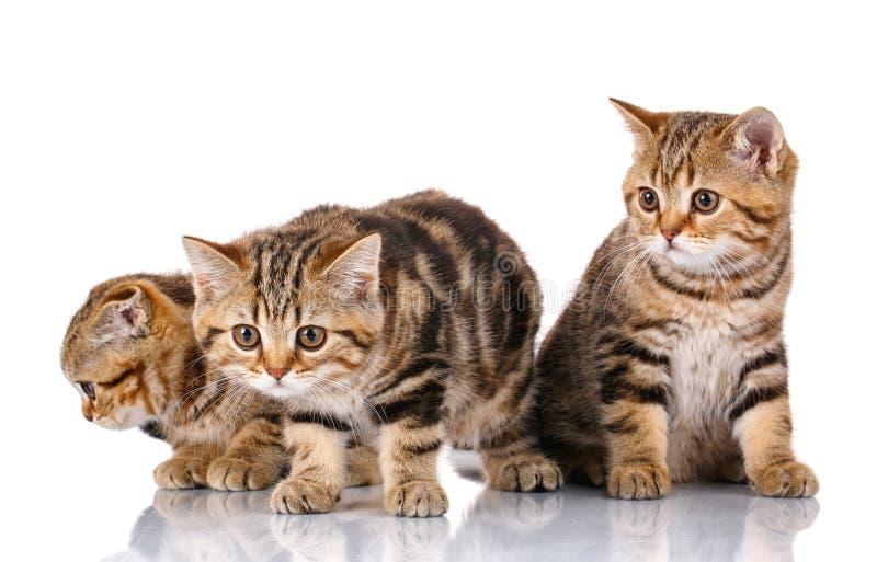 Scottish kittens on white background royalty free stock photos