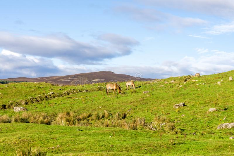 Scottish landscape with Przewalski`s wild horses grazing in Highland Wildlife Safari Parks, Scotland stock photography