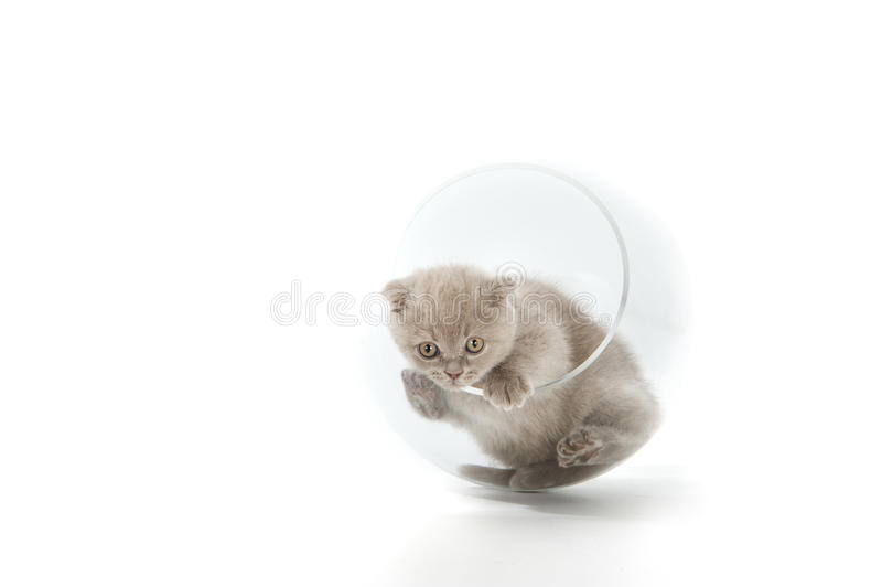 The Scottish Lop-eared  Kitten Royalty Free Stock Images
