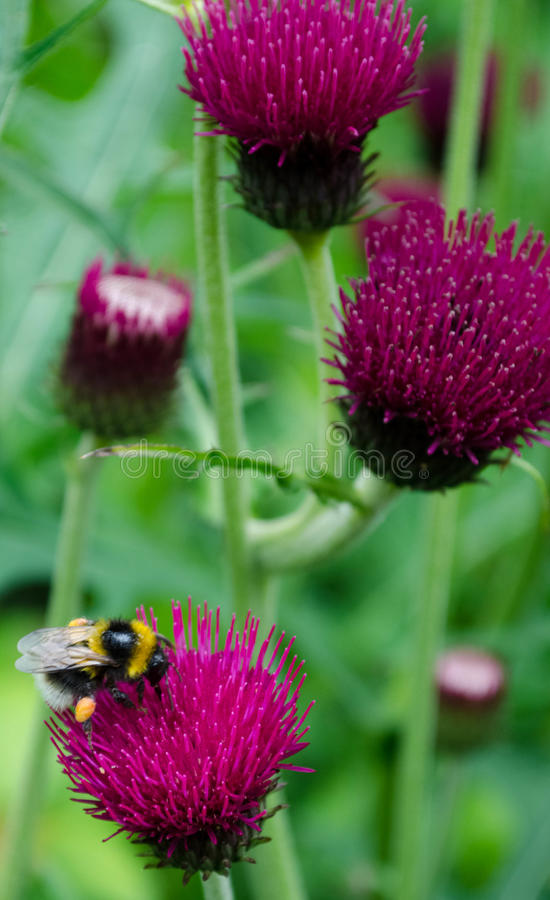 Scottish Nectar royalty free stock photo