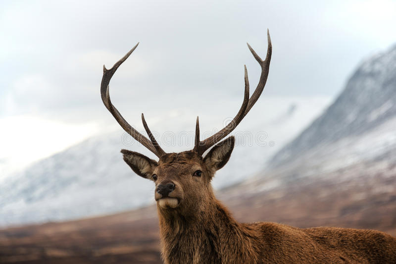Red deer stag royalty free stock photo