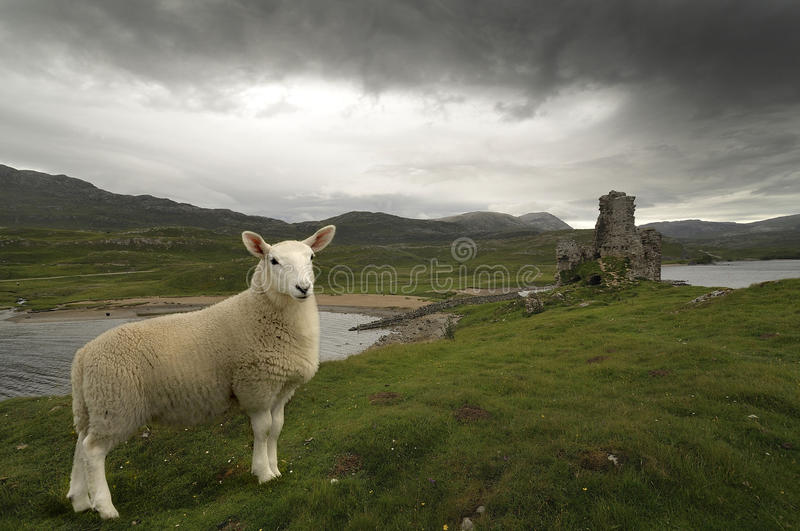 Scottish sheep. A sheep in front of a castle's ruins stock image