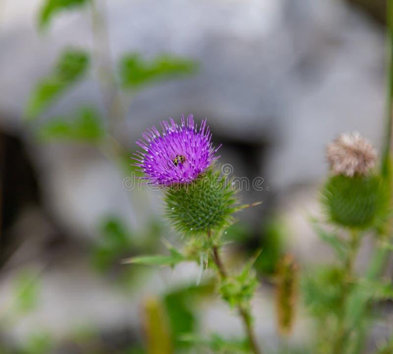 Scottish thistle Flower of Scotland. Scottish or spear thistle Flower of Scotland with a cucumber beetle. Purple. Beautiful royalty free stock photo