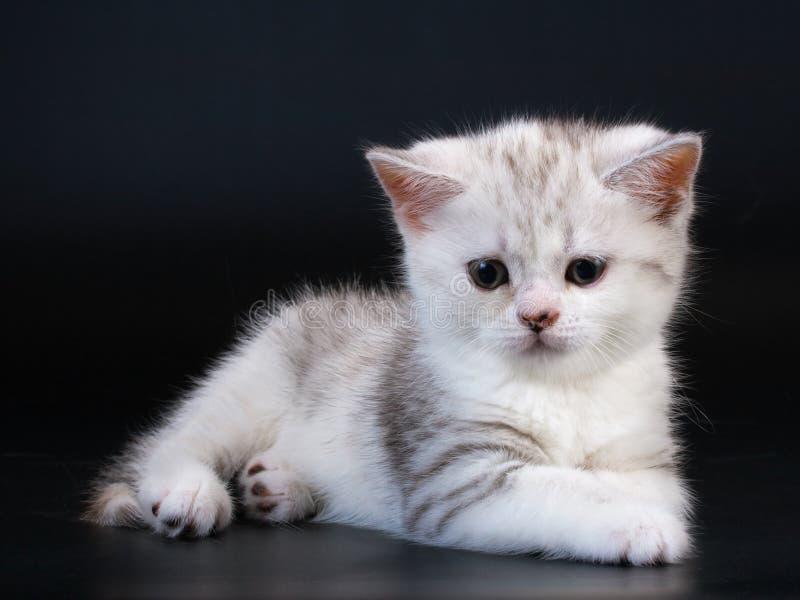 Download Scottish Straight Breed Kitten On Black Stock Image - Image: 9769603